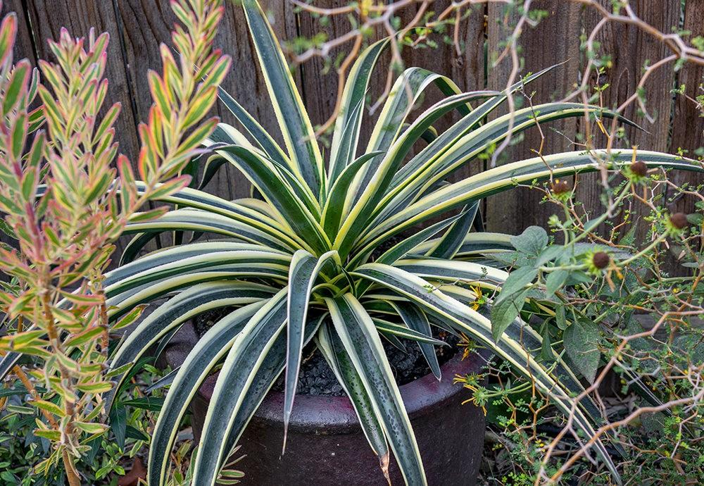 沃尔特斯花园发现的龙舌兰新品种_图1-17