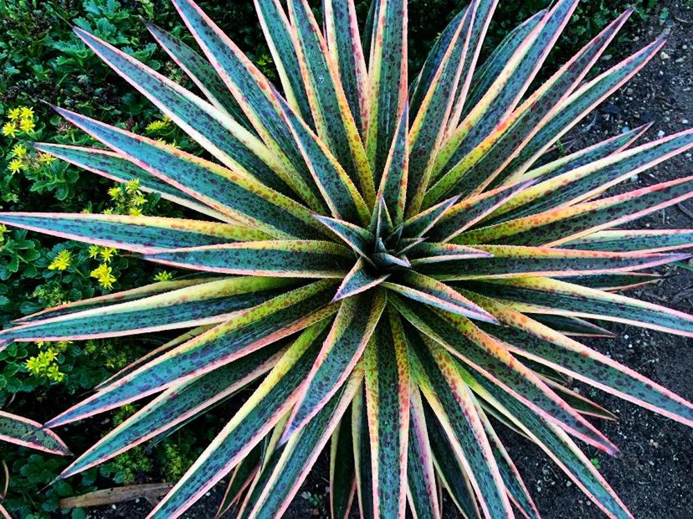 沃尔特斯花园发现的龙舌兰新品种_图1-21