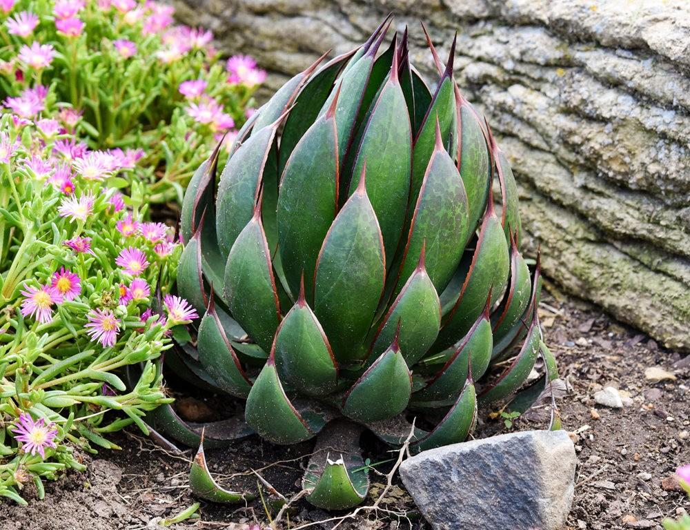 沃尔特斯花园发现的龙舌兰新品种_图1-22