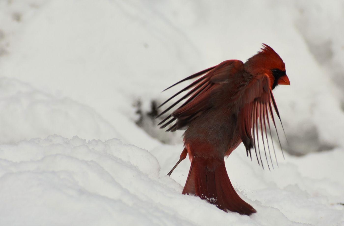 红鸟迎新春_图1-13