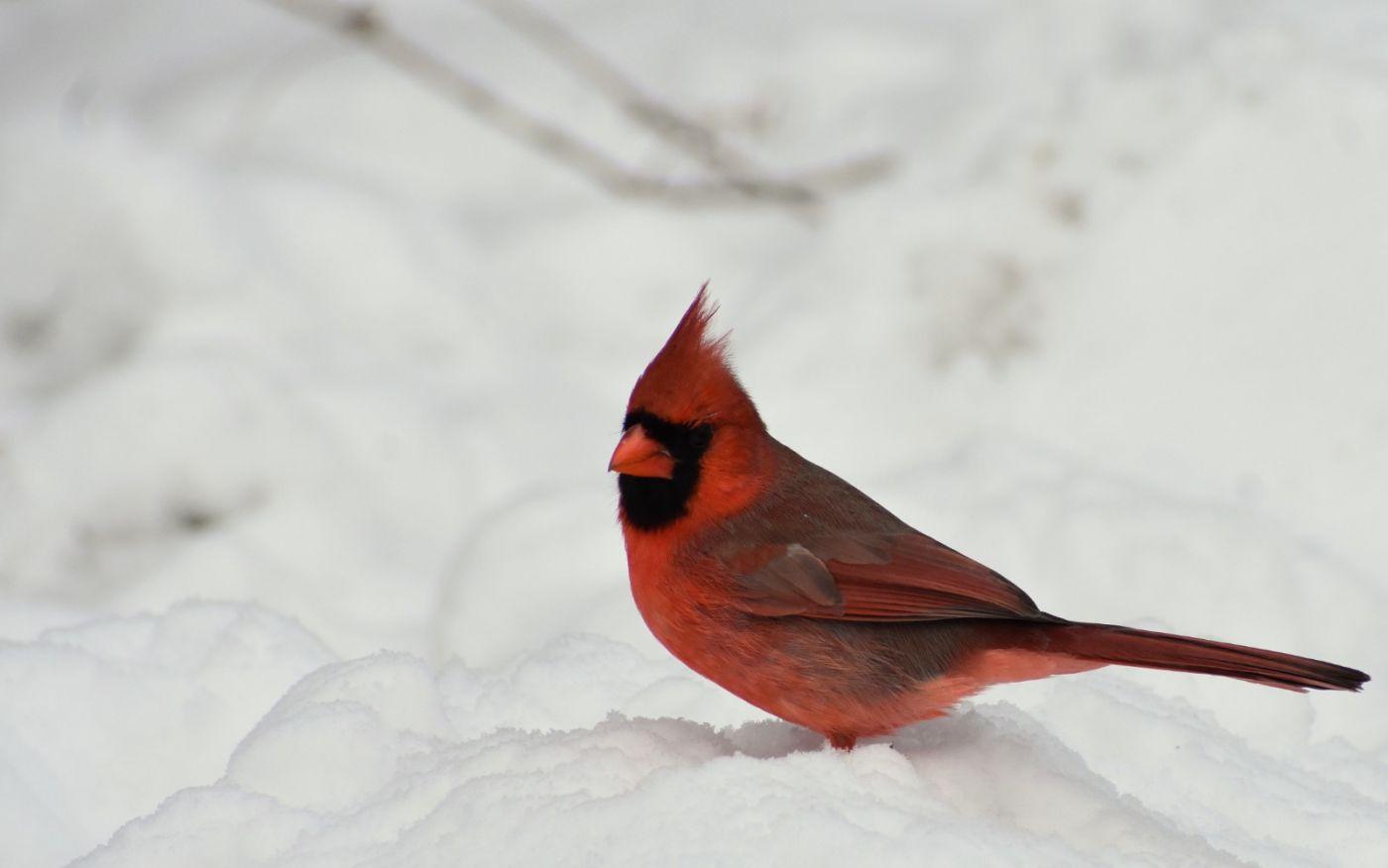 红鸟迎新春_图1-19