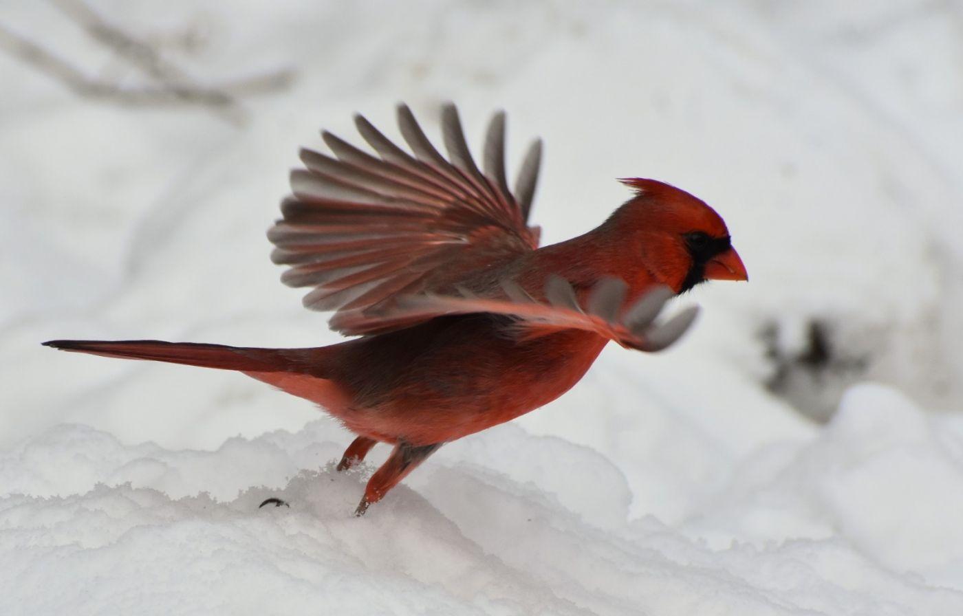 红鸟迎新春_图1-20