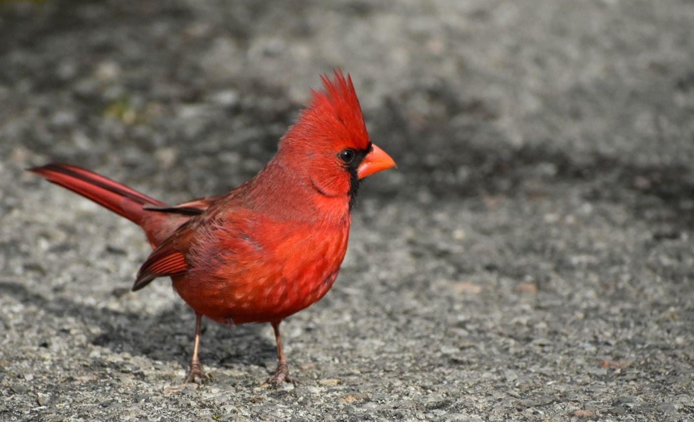 红鸟迎新春_图1-23