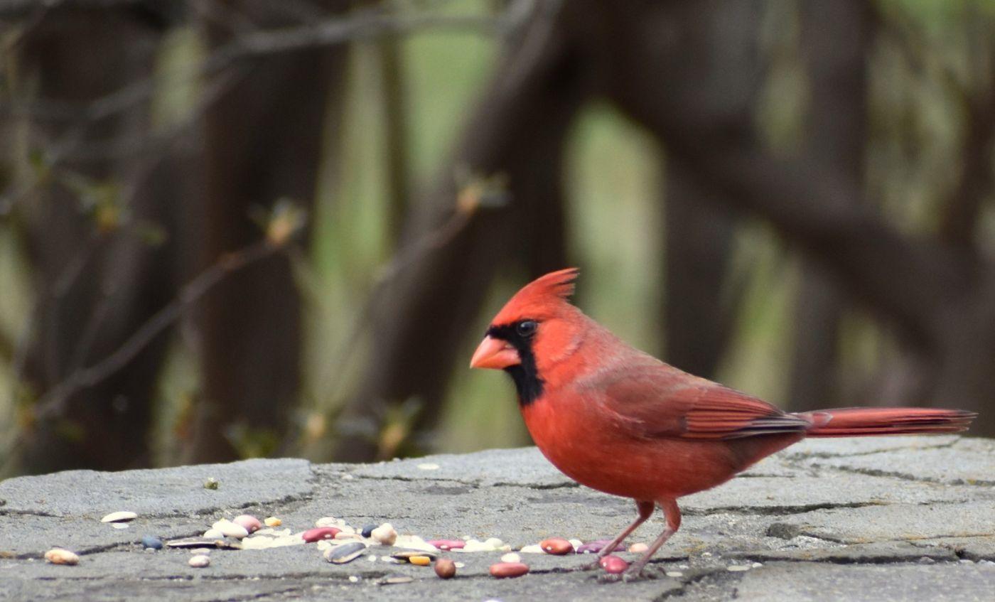 红鸟迎新春_图1-24