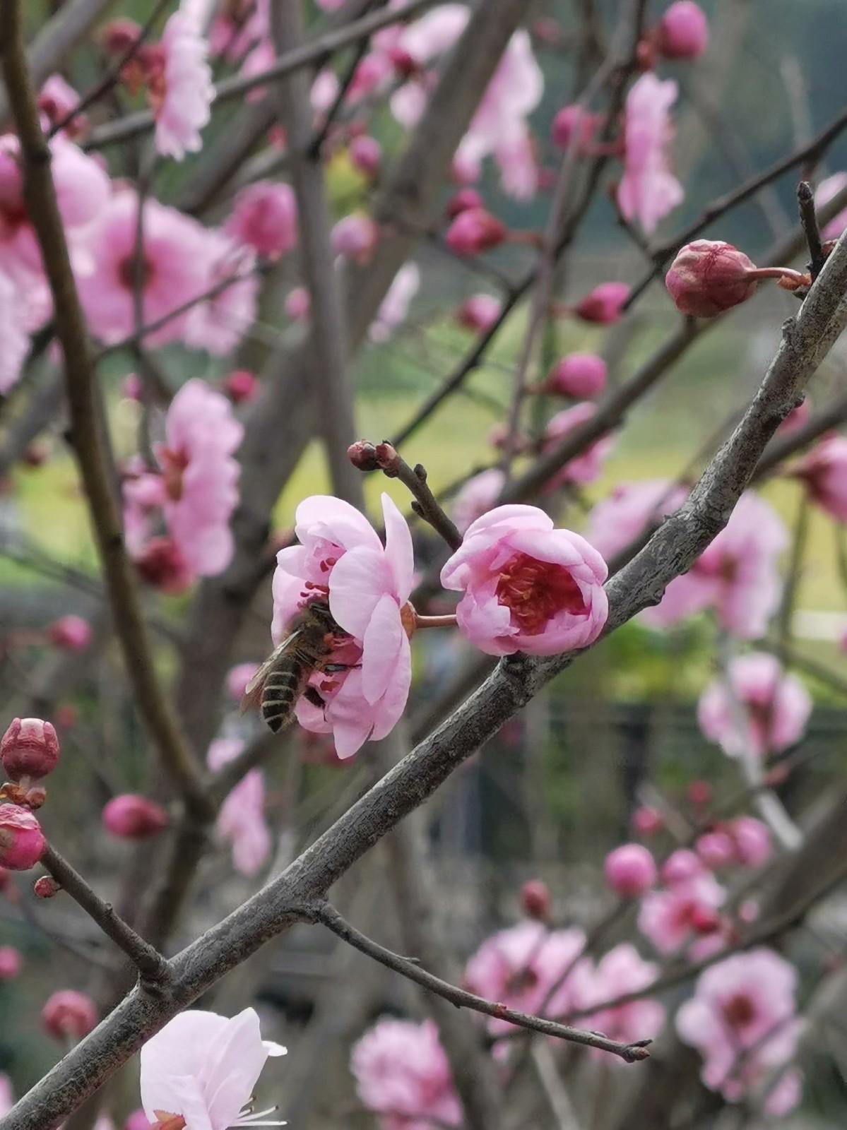 正月初六桃花开,蜜蜂闻讯采蜜来_图1-1