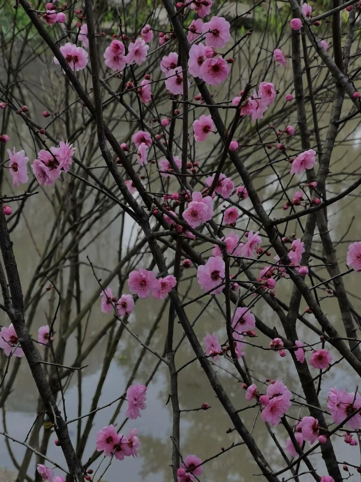 正月初六桃花开,蜜蜂闻讯采蜜来_图1-2