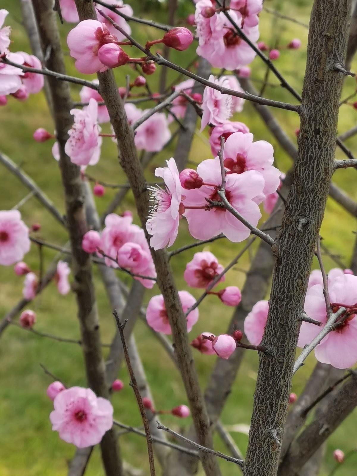 正月初六桃花开,蜜蜂闻讯采蜜来_图1-3