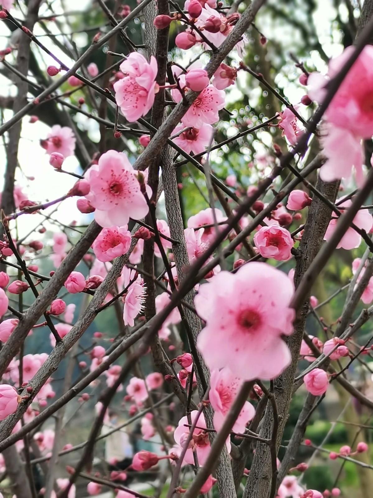 正月初六桃花开,蜜蜂闻讯采蜜来_图1-4