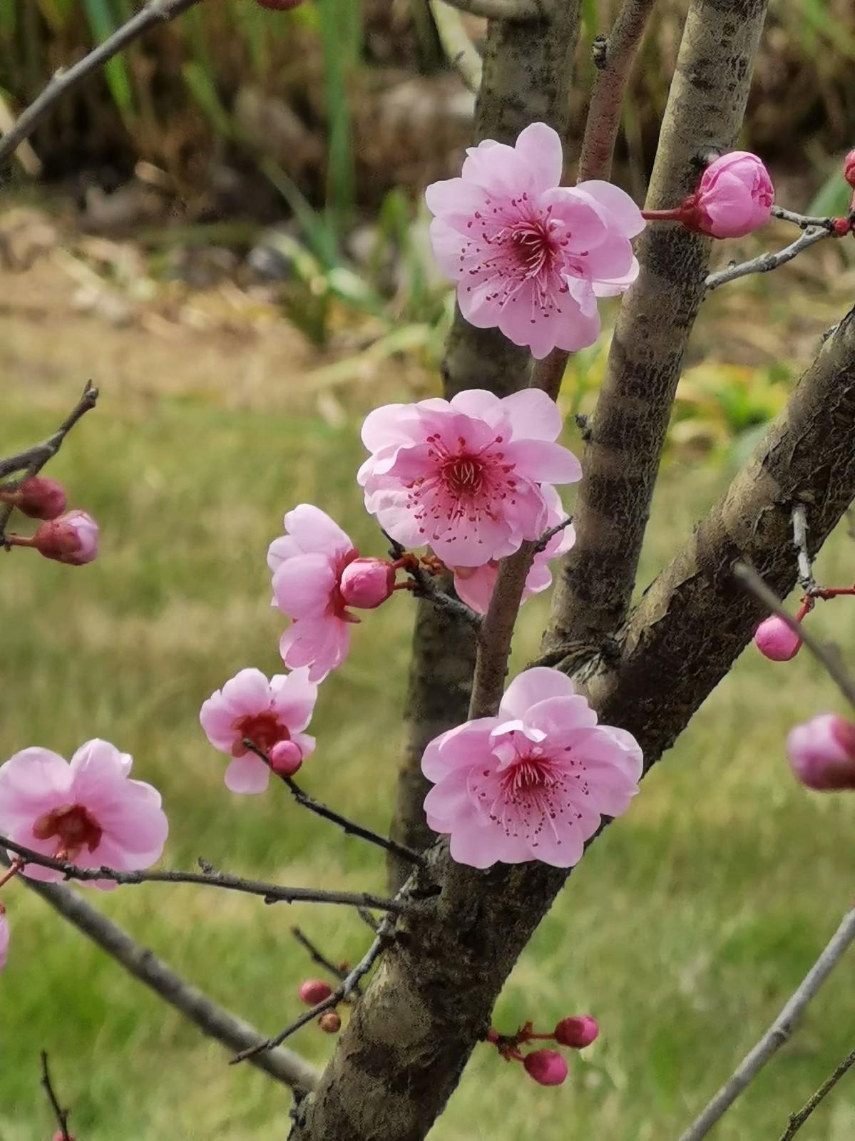 正月初六桃花开,蜜蜂闻讯采蜜来_图1-5