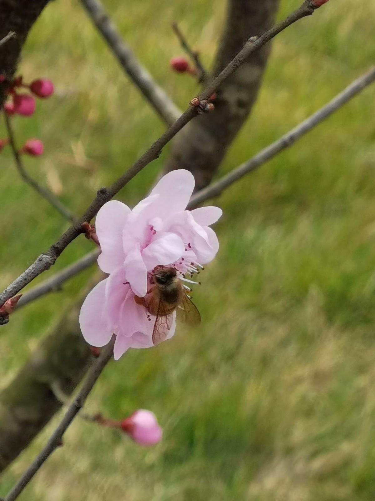 正月初六桃花开,蜜蜂闻讯采蜜来_图1-8