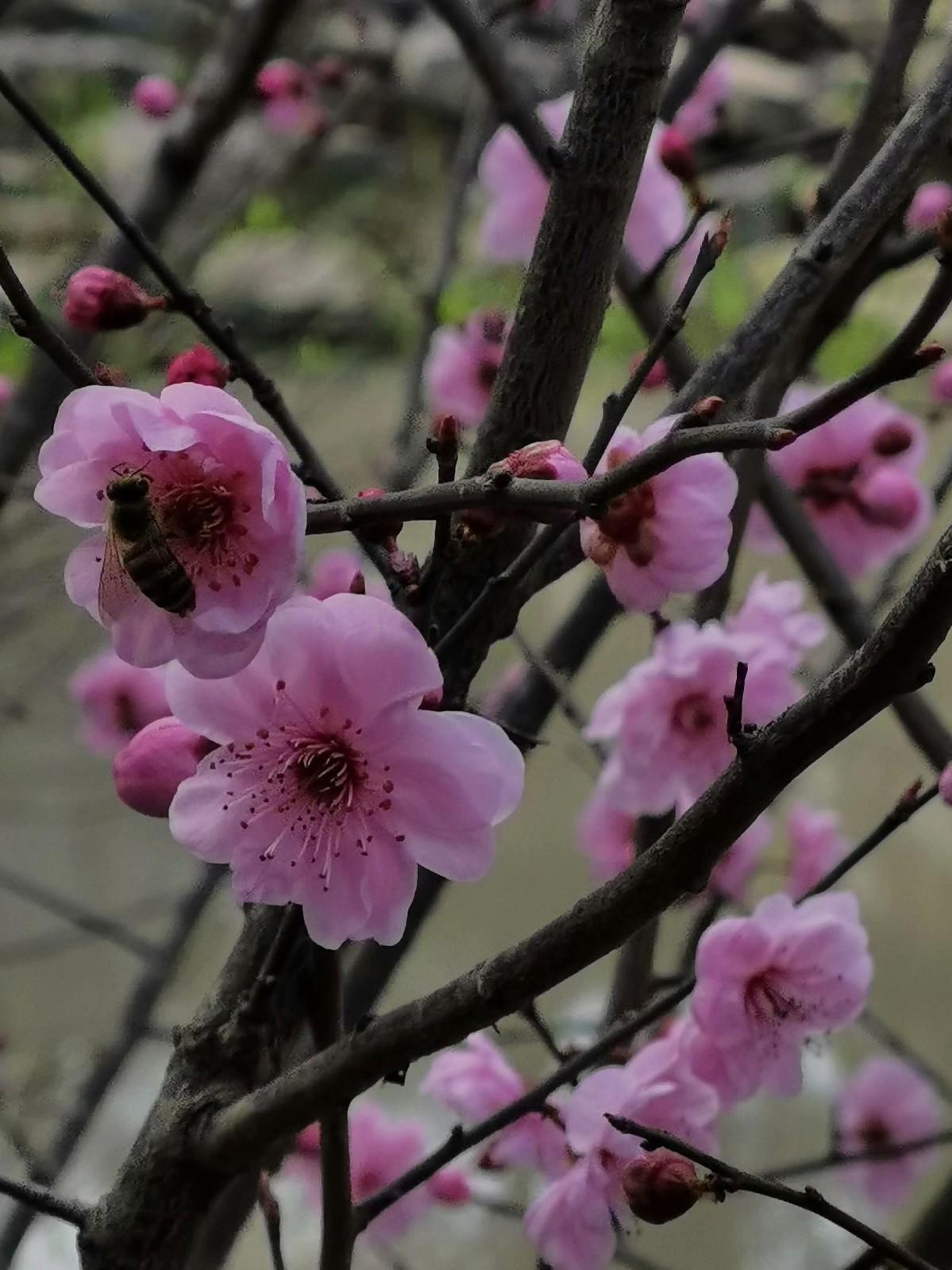 正月初六桃花开,蜜蜂闻讯采蜜来_图1-6