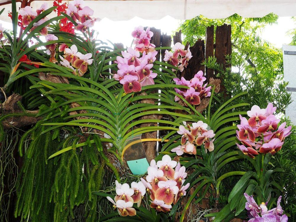 菲律宾的兰花展_图1-5