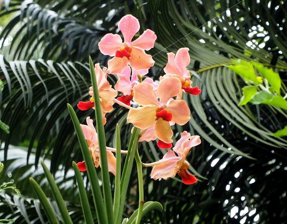菲律宾的兰花展_图1-15