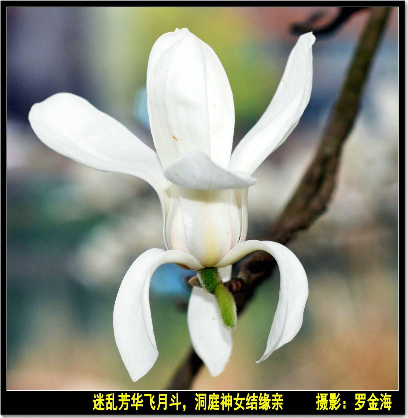 玉兰花赞(七律)_图1-1