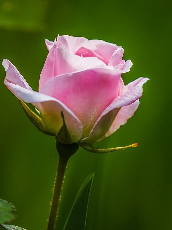 玫瑰花,妩媚动人_图1-8