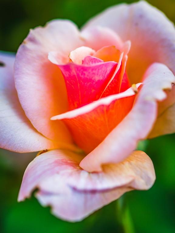 玫瑰花,妩媚动人_图1-3