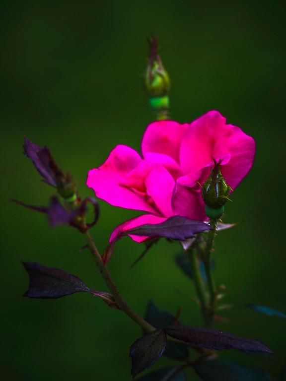 玫瑰花,妩媚动人_图1-10