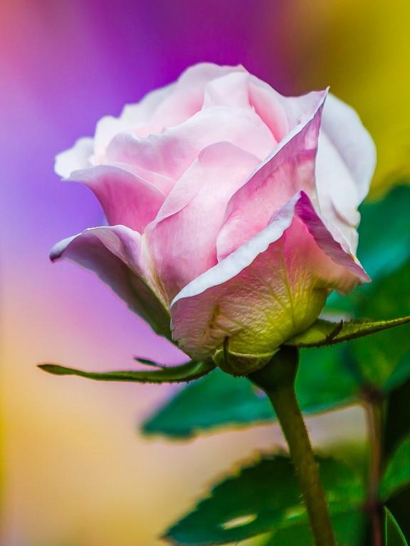 玫瑰花,妩媚动人_图1-2