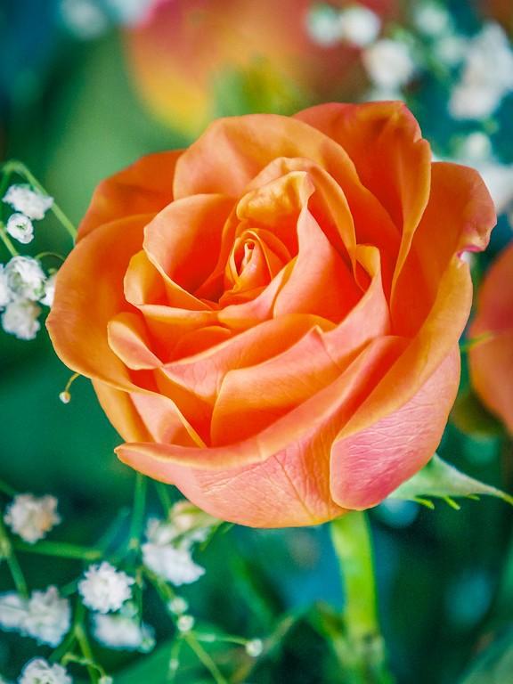 玫瑰花,妩媚动人_图1-12
