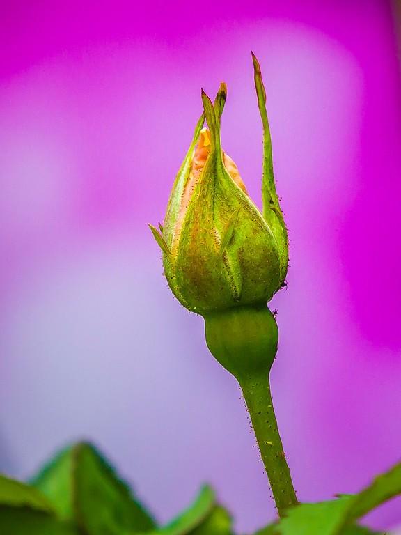 玫瑰花,妩媚动人_图1-14