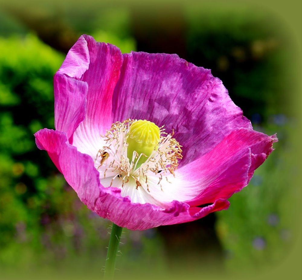 紫黑牡丹罂粟_图1-1