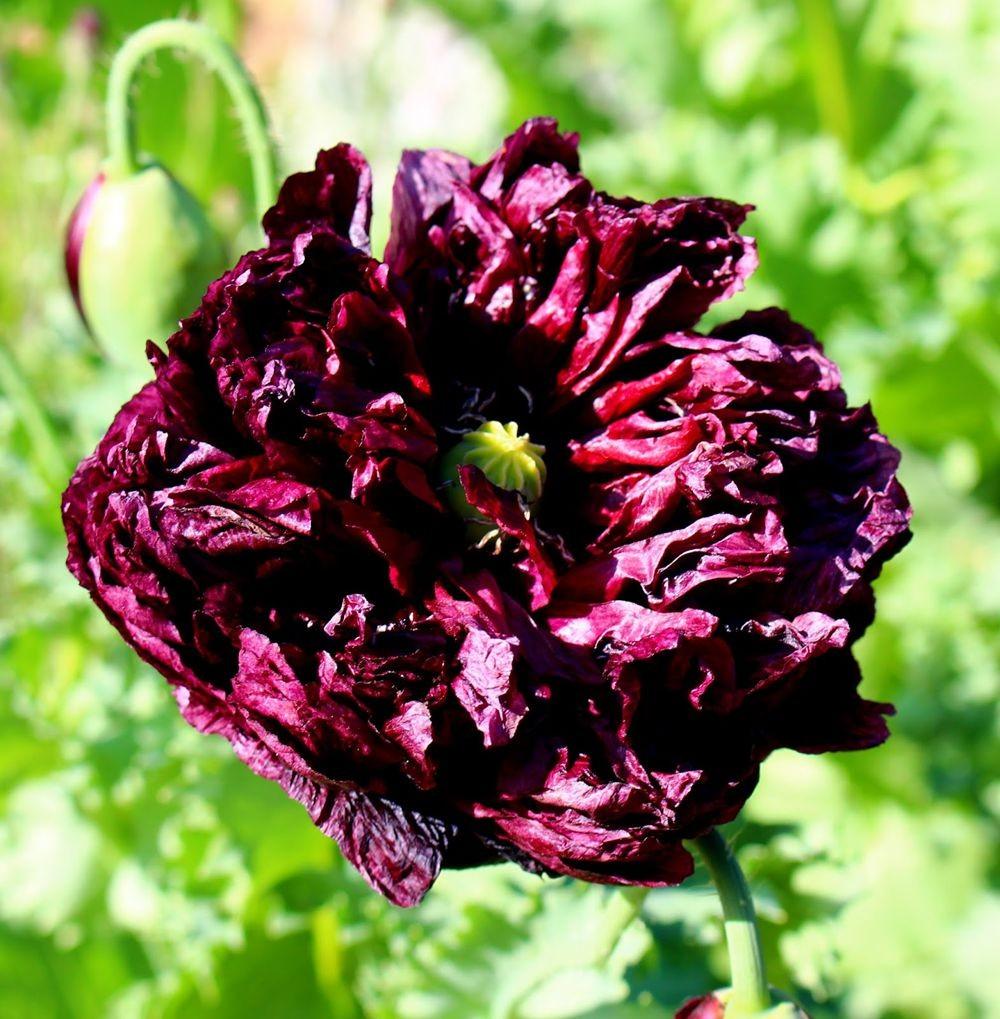 紫黑牡丹罂粟_图1-3