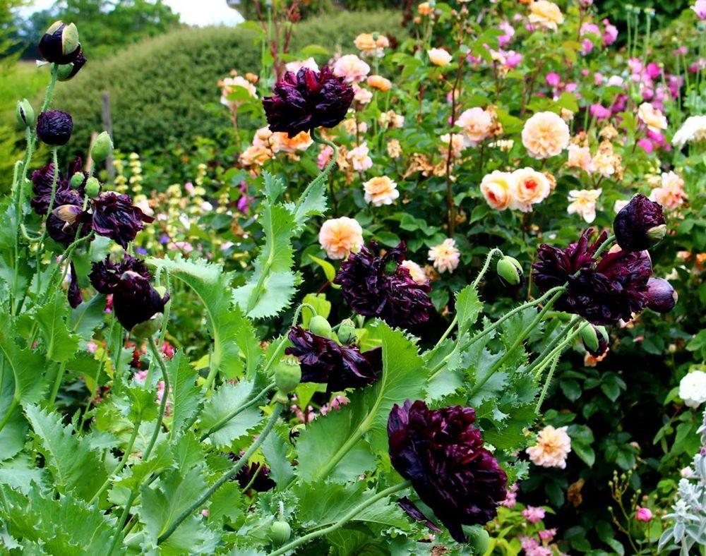 紫黑牡丹罂粟_图1-4