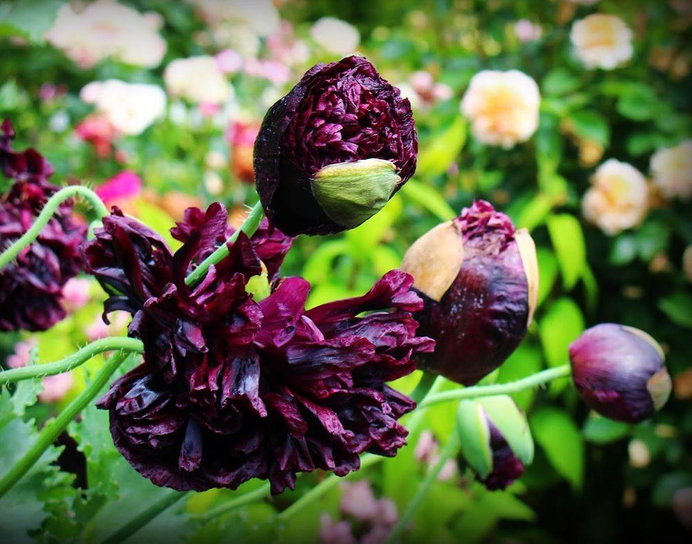 紫黑牡丹罂粟_图1-6