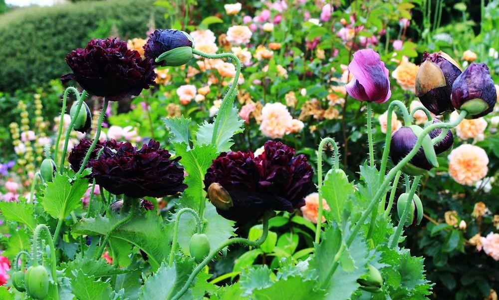 紫黑牡丹罂粟_图1-7