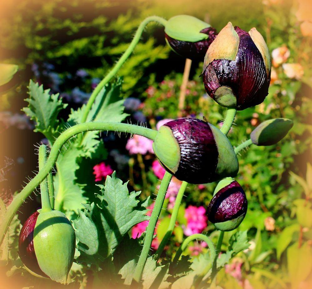 紫黑牡丹罂粟_图1-11