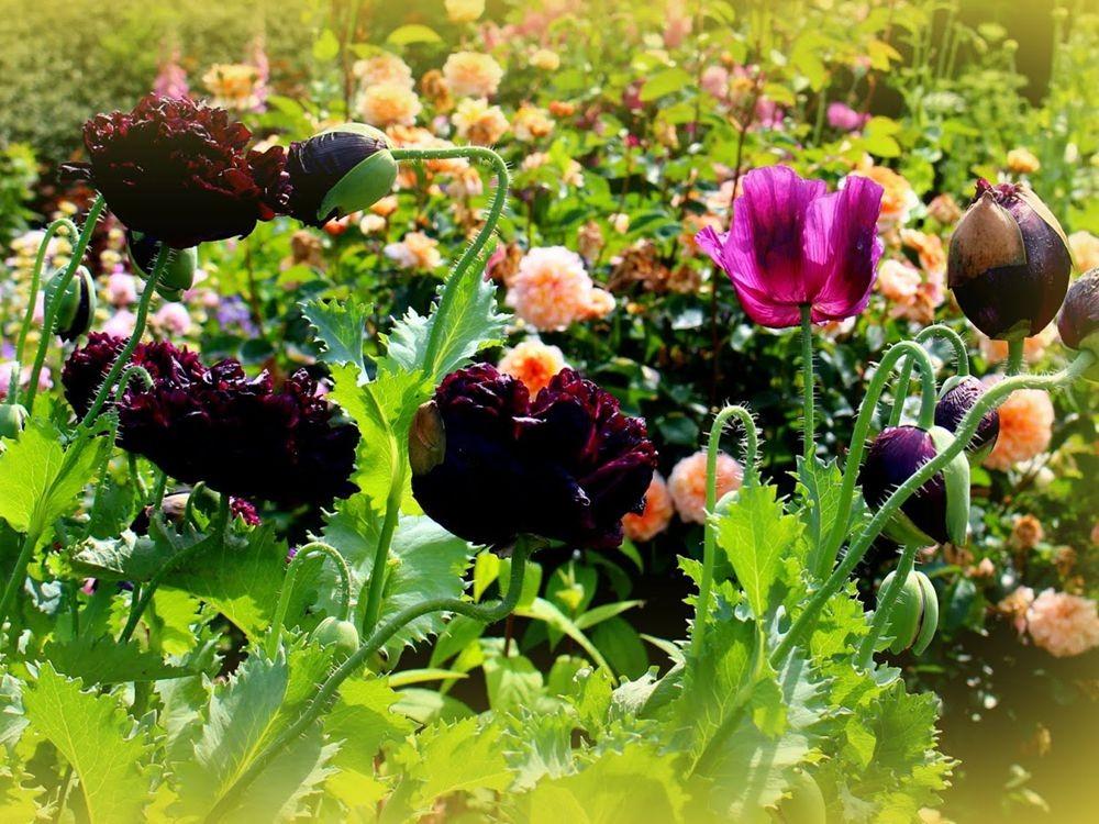 紫黑牡丹罂粟_图1-12