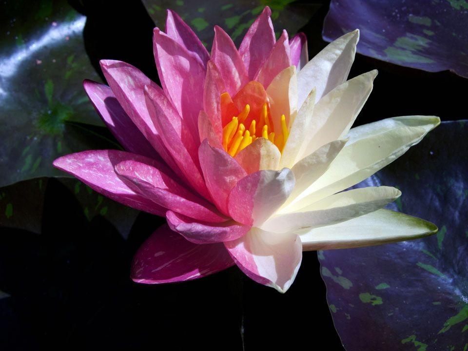 花卉日记15---睡莲_图1-1