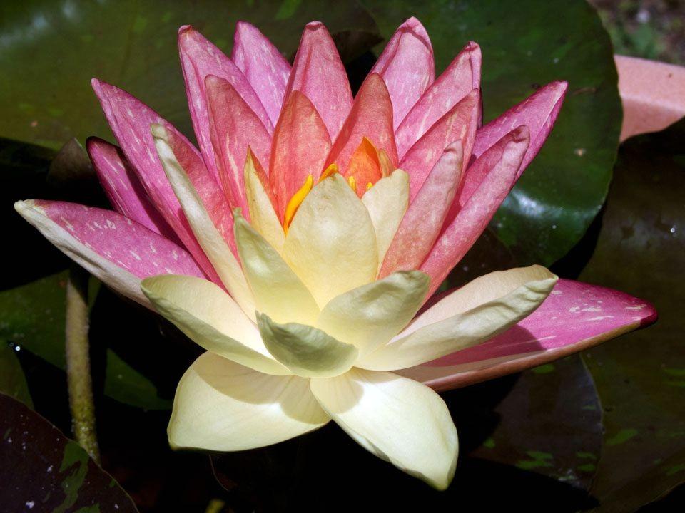 花卉日记15---睡莲_图1-3