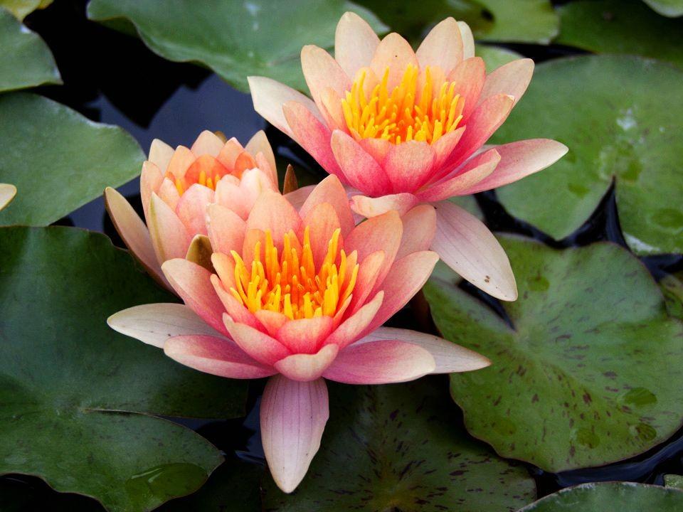 花卉日记15---睡莲_图1-9