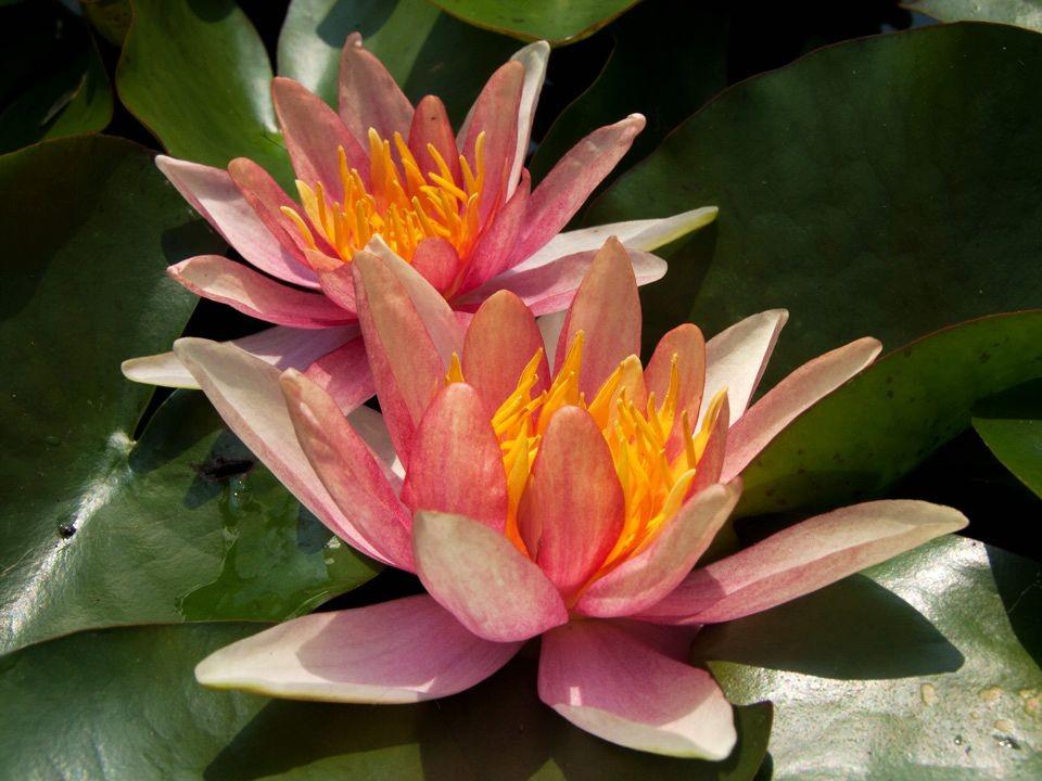 花卉日记15---睡莲_图1-10