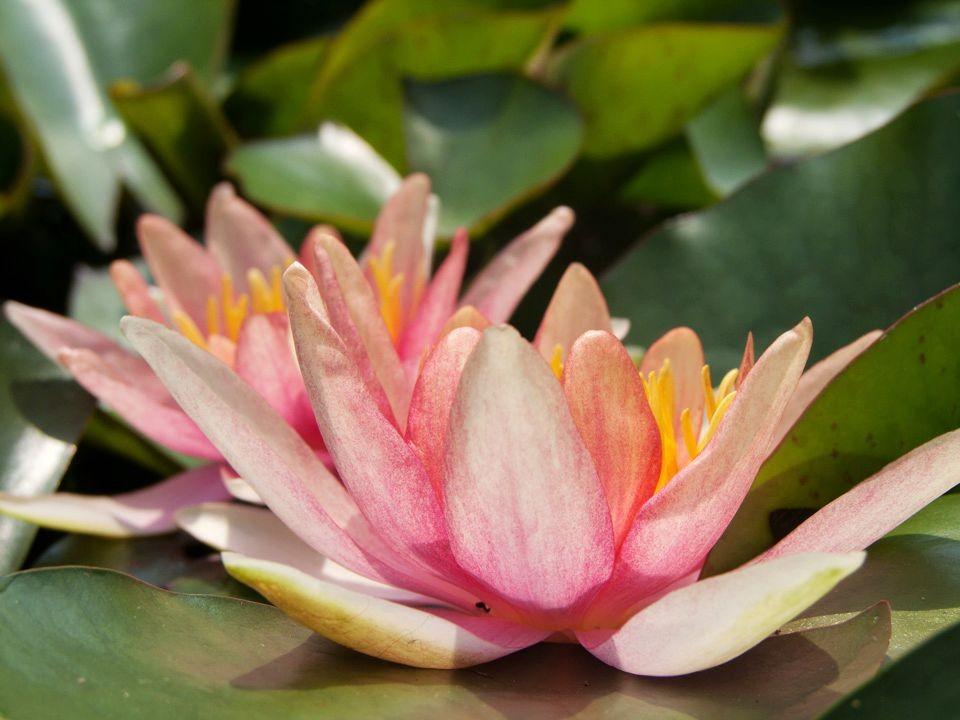 花卉日记15---睡莲_图1-11