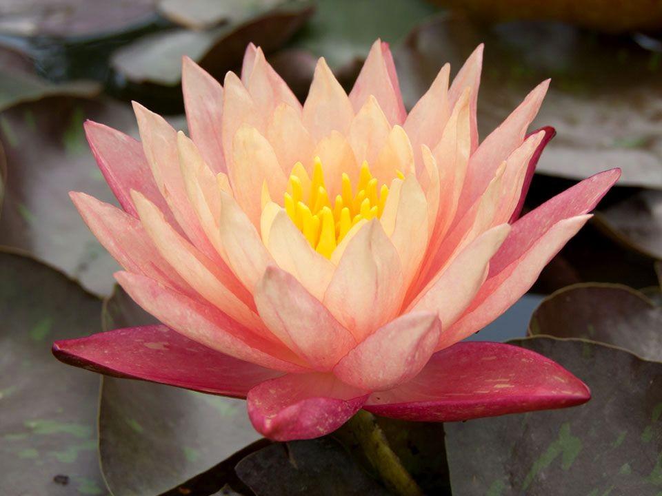 花卉日记15---睡莲_图1-15