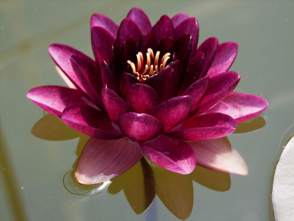 花卉日记15---睡莲_图1-19