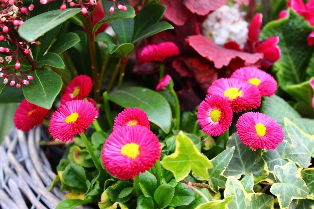 花园雏菊_图1-2