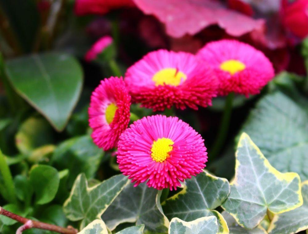 花园雏菊_图1-3