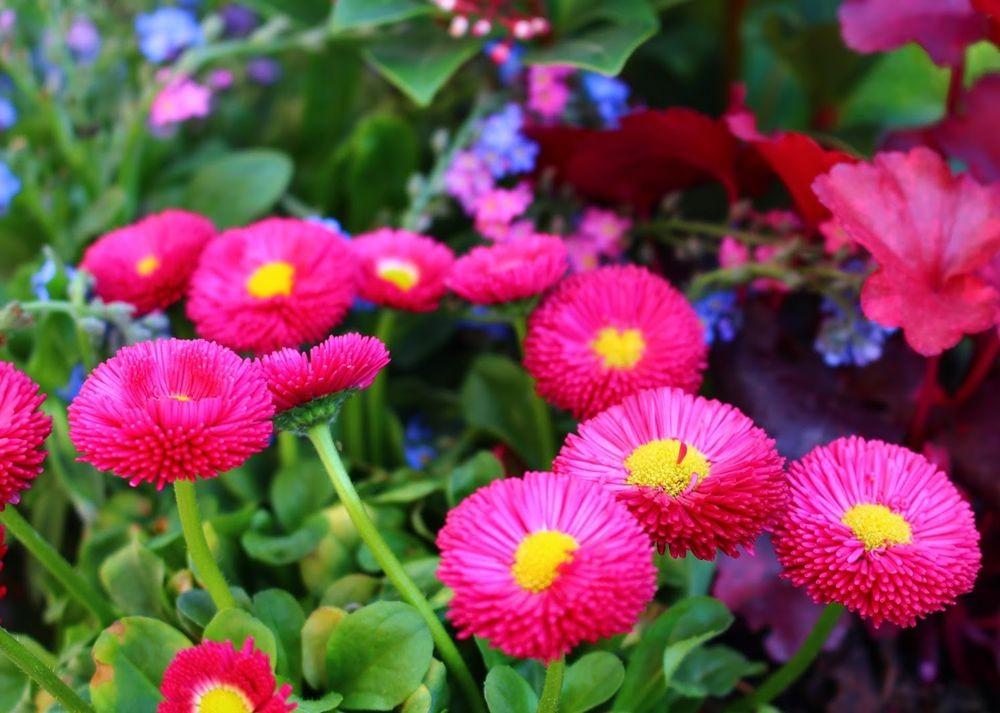 花园雏菊_图1-4