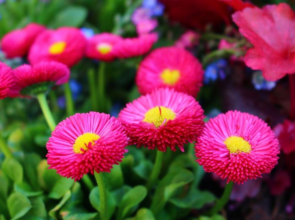 花园雏菊_图1-5