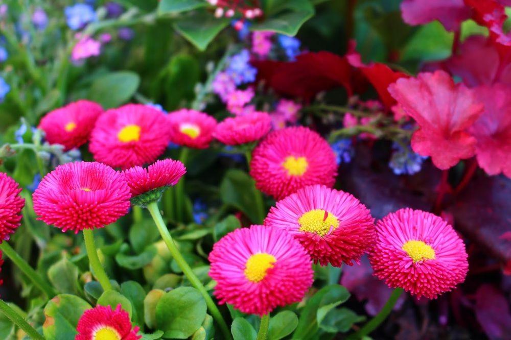 花园雏菊_图1-7
