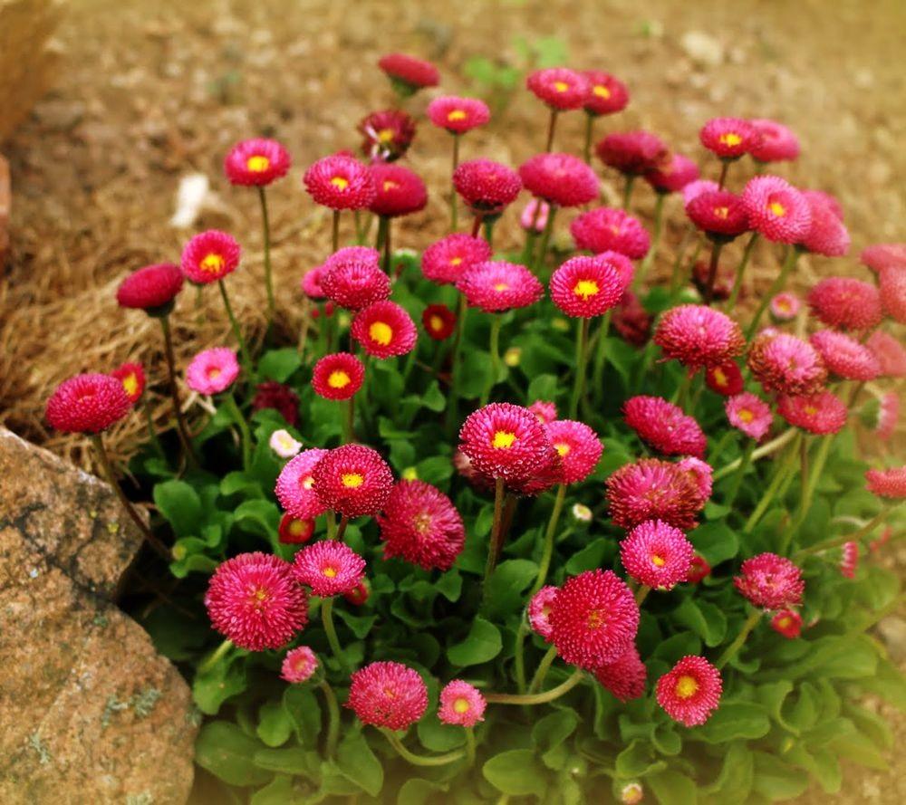 花园雏菊_图1-8