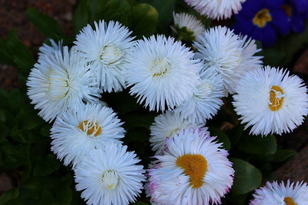 花园雏菊_图1-9