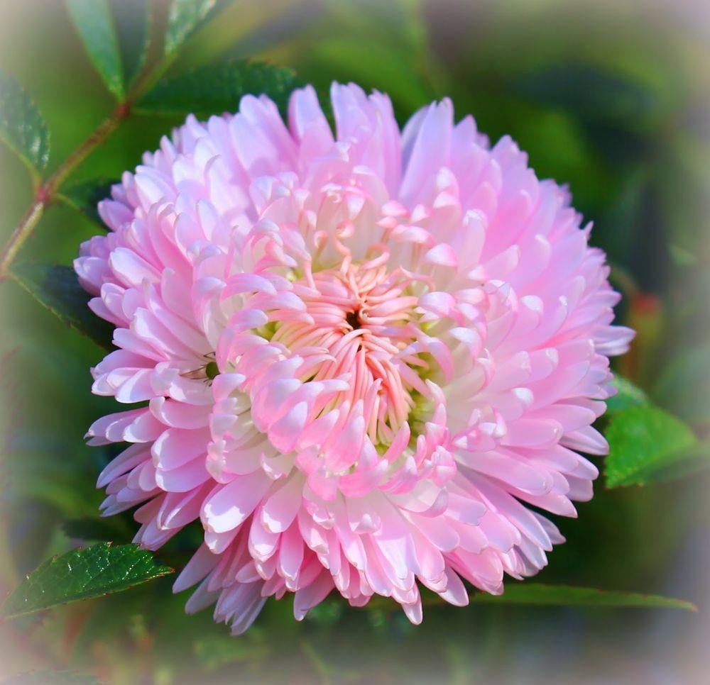 花园雏菊_图1-12