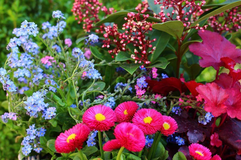 花园雏菊_图1-14