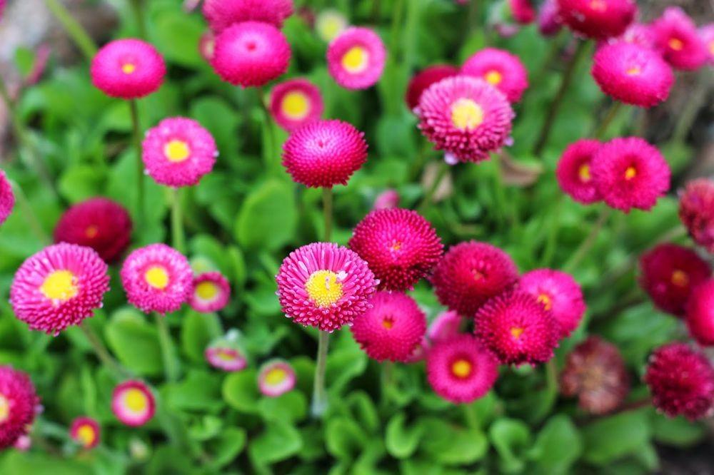 花园雏菊_图1-15