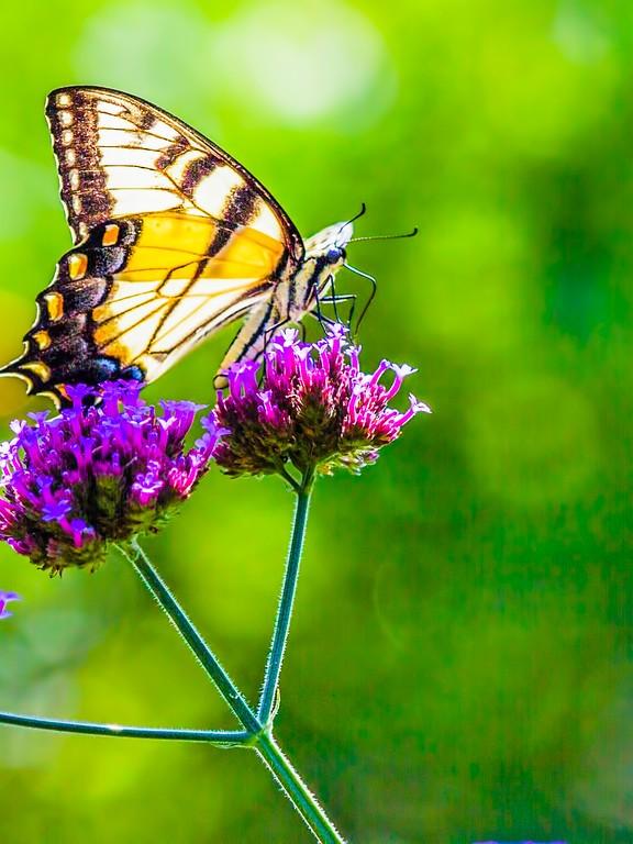 彩蝶,鲜花伴侣_图1-13