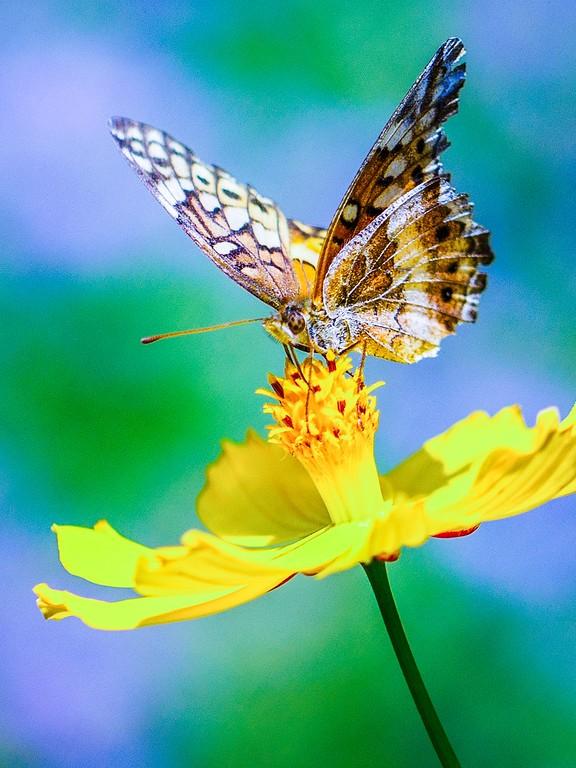 彩蝶,鲜花伴侣_图1-15